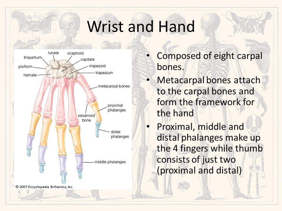 Wrist and Hand Composed of eight carpal bones.
