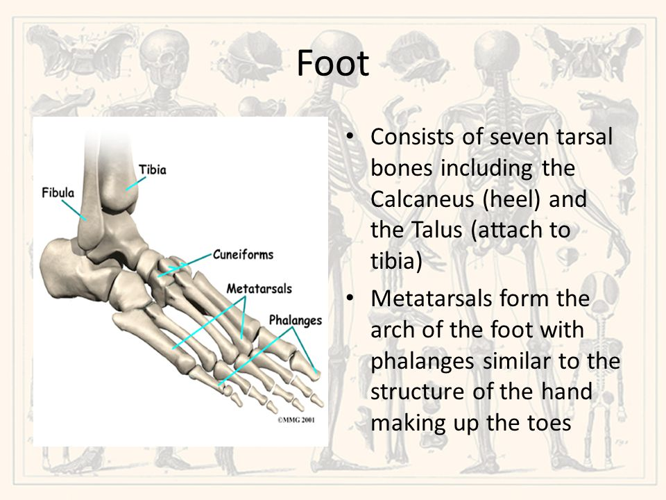 Foot Consists of seven tarsal bones including the Calcaneus (heel) and the Talus (attach to tibia)
