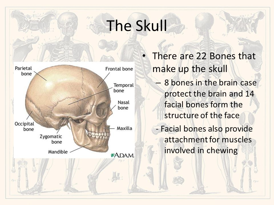 The Skull There are 22 Bones that make up the skull