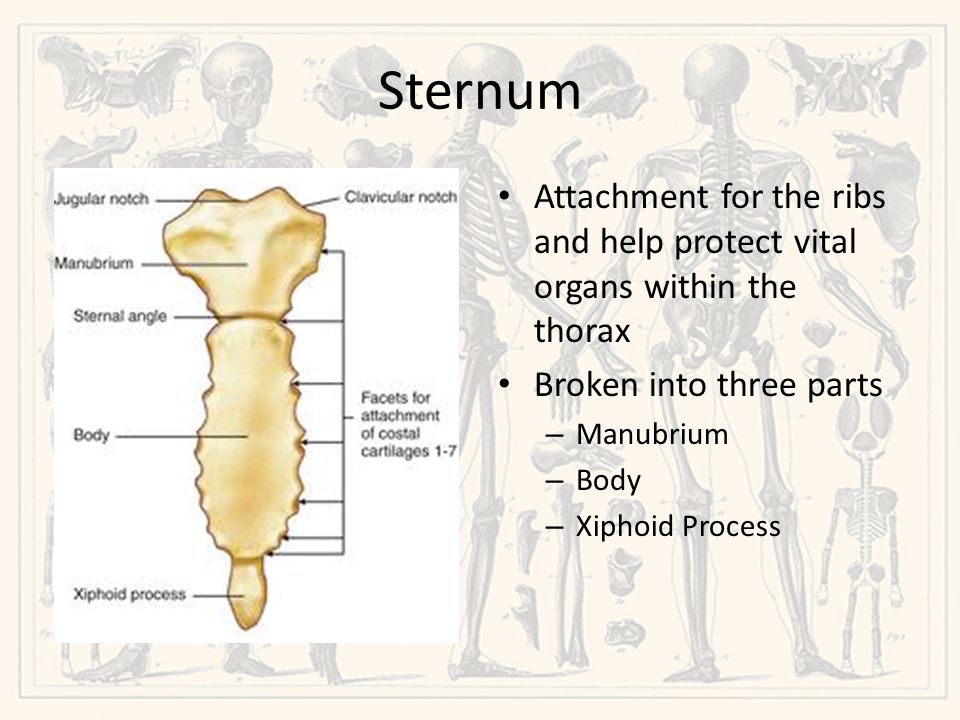 Sternum Attachment for the ribs and help protect vital organs within the thorax. Broken into three parts.