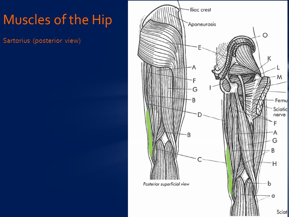Muscles of the Hip Sartorius (posterior view)