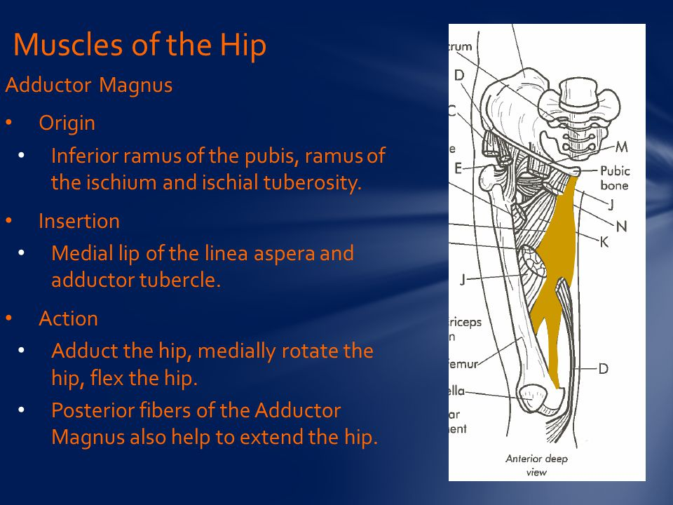 Muscles of the Hip Adductor Magnus Origin
