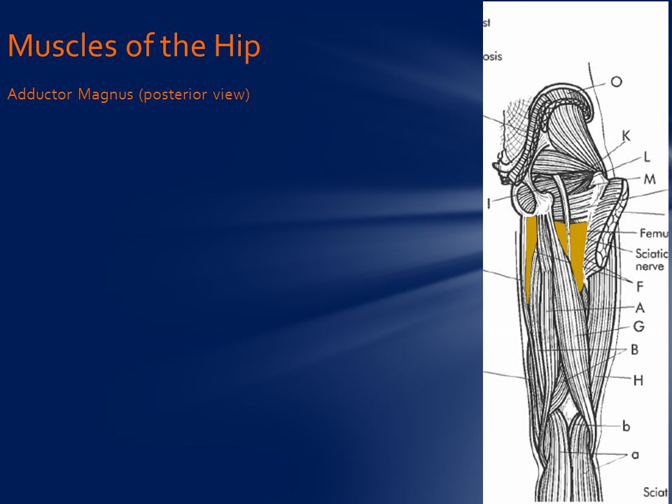 Muscles of the Hip Adductor Magnus (posterior view)