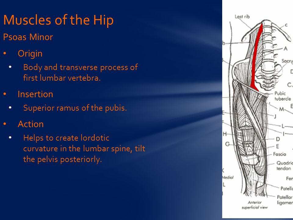 Muscles of the Hip Psoas Minor Origin Insertion Action