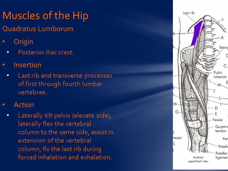 Muscles of the Hip Quadratus Lumborum Origin Insertion Action