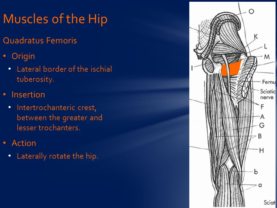 Muscles of the Hip Quadratus Femoris Origin Insertion Action