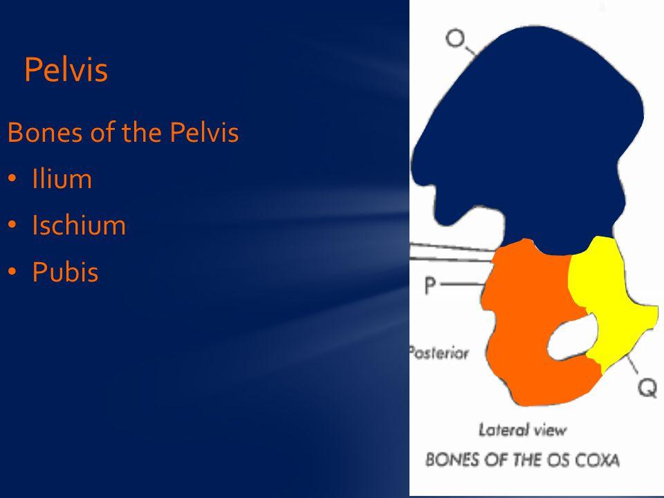 Pelvis Bones of the Pelvis Ilium Ischium Pubis