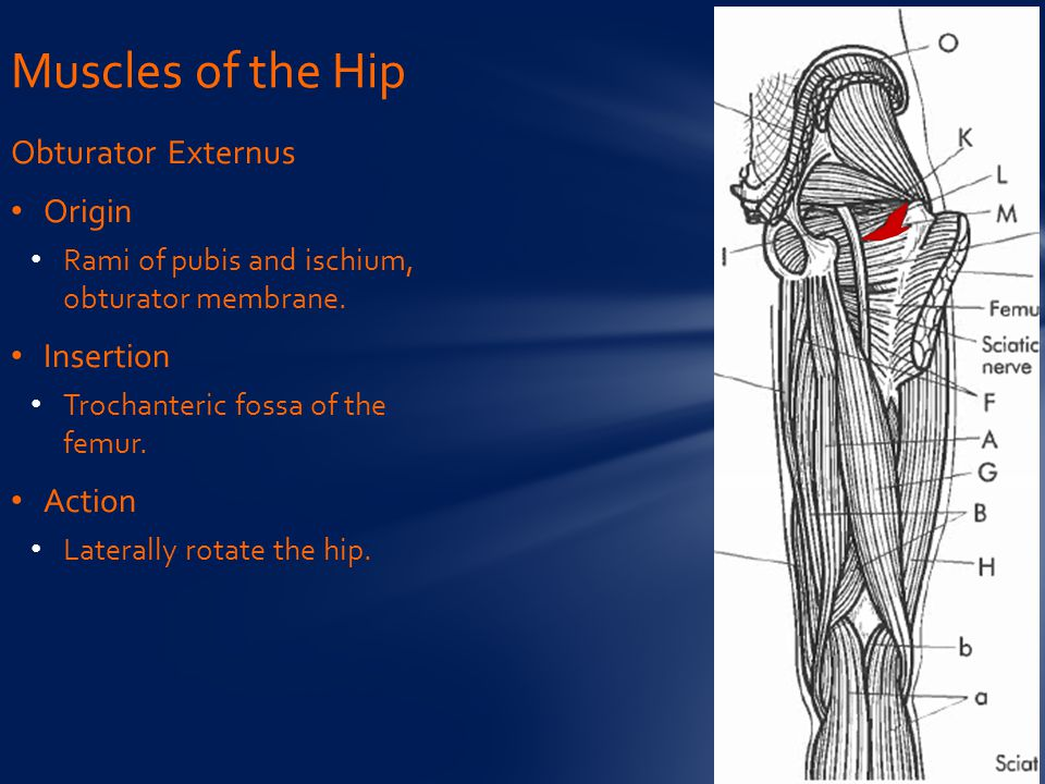 Muscles of the Hip Obturator Externus Origin Insertion Action