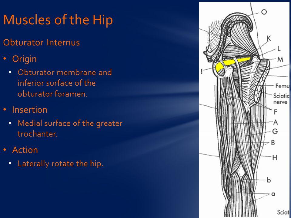Muscles of the Hip Obturator Internus Origin Insertion Action