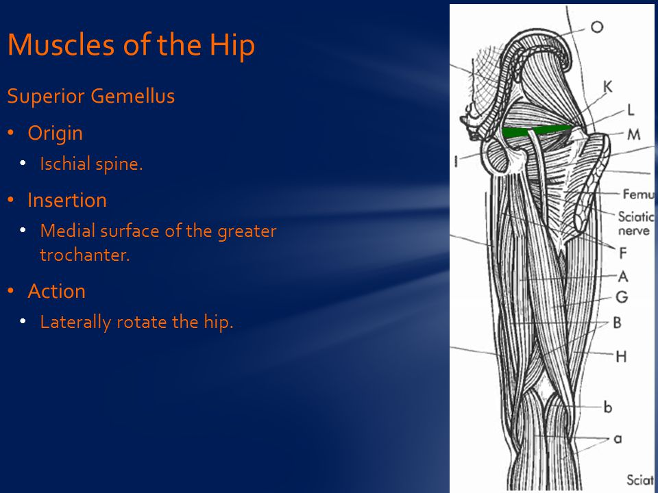 Muscles of the Hip Superior Gemellus Origin Insertion Action