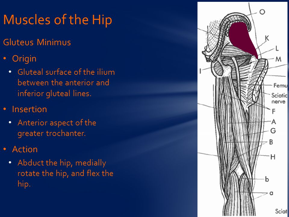 Muscles of the Hip Gluteus Minimus Origin Insertion Action