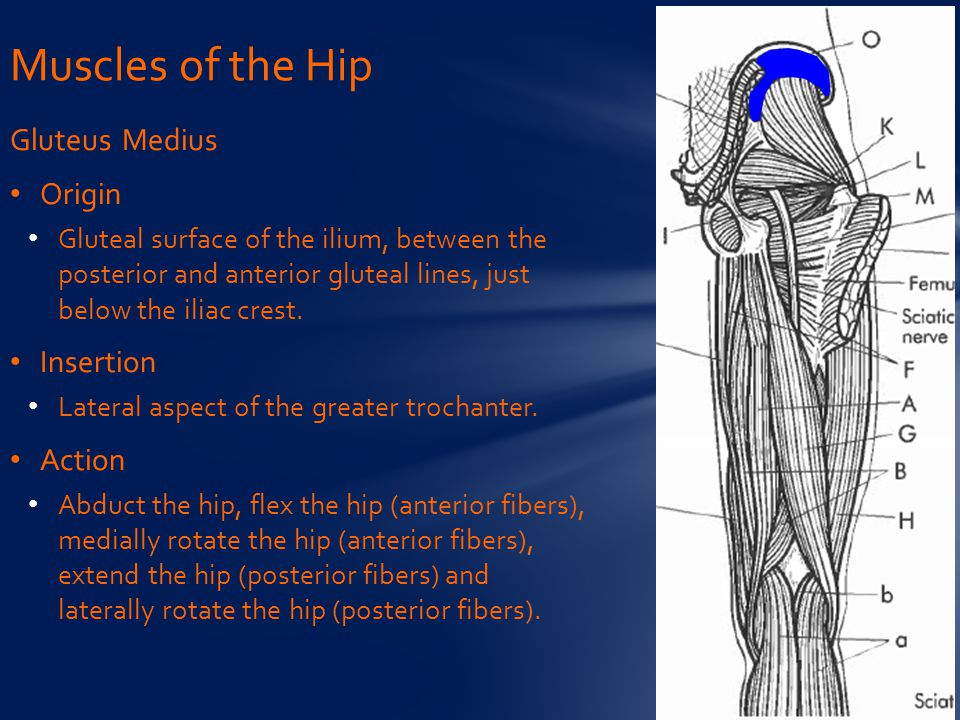 Muscles of the Hip Gluteus Medius Origin Insertion Action