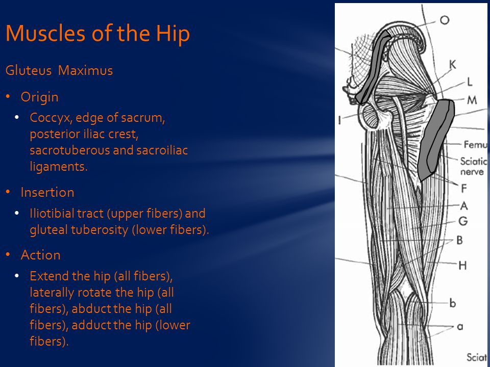 Muscles of the Hip Gluteus Maximus Origin Insertion Action