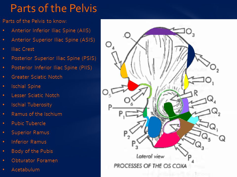 Parts of the Pelvis Parts of the Pelvis to know: