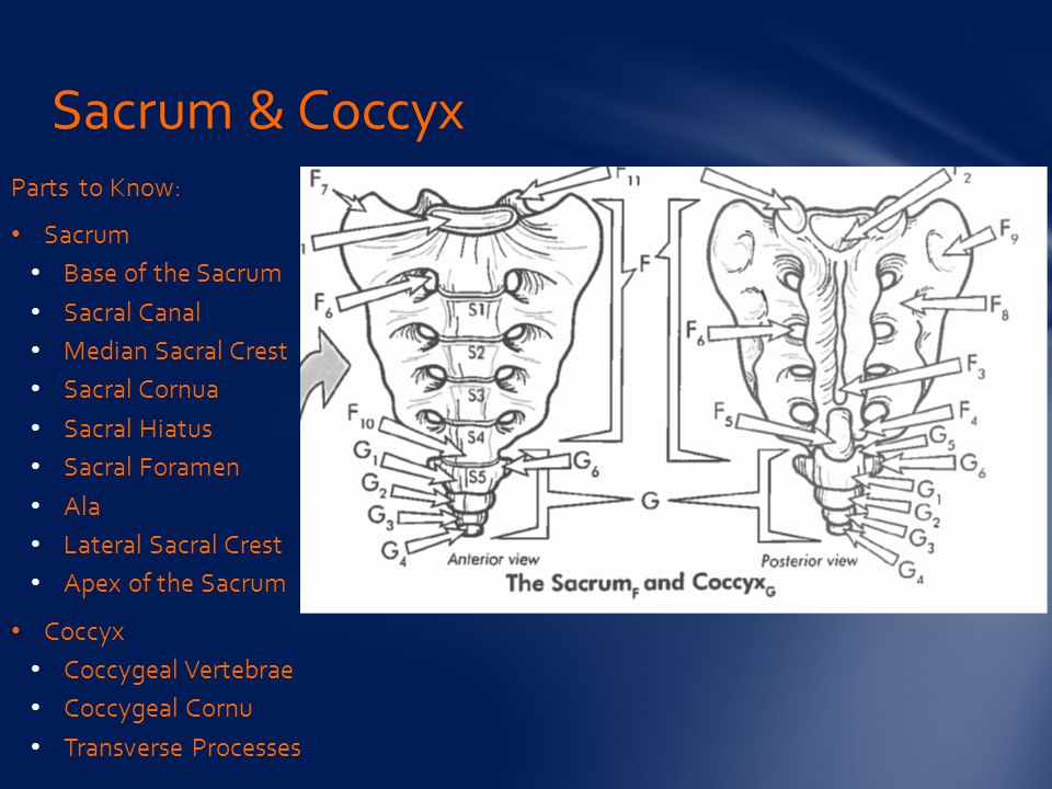 Sacrum & Coccyx Parts to Know: Sacrum Base of the Sacrum Sacral Canal