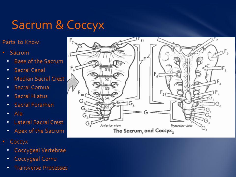 Sacrum & Coccyx Parts to Know: Sacrum Base of the Sacrum Sacral Canal