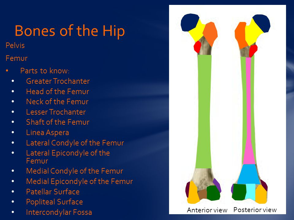 Bones of the Hip Pelvis Femur Parts to know: Greater Trochanter