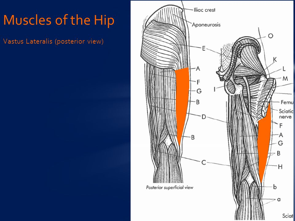 Muscles of the Hip Vastus Lateralis (posterior view)
