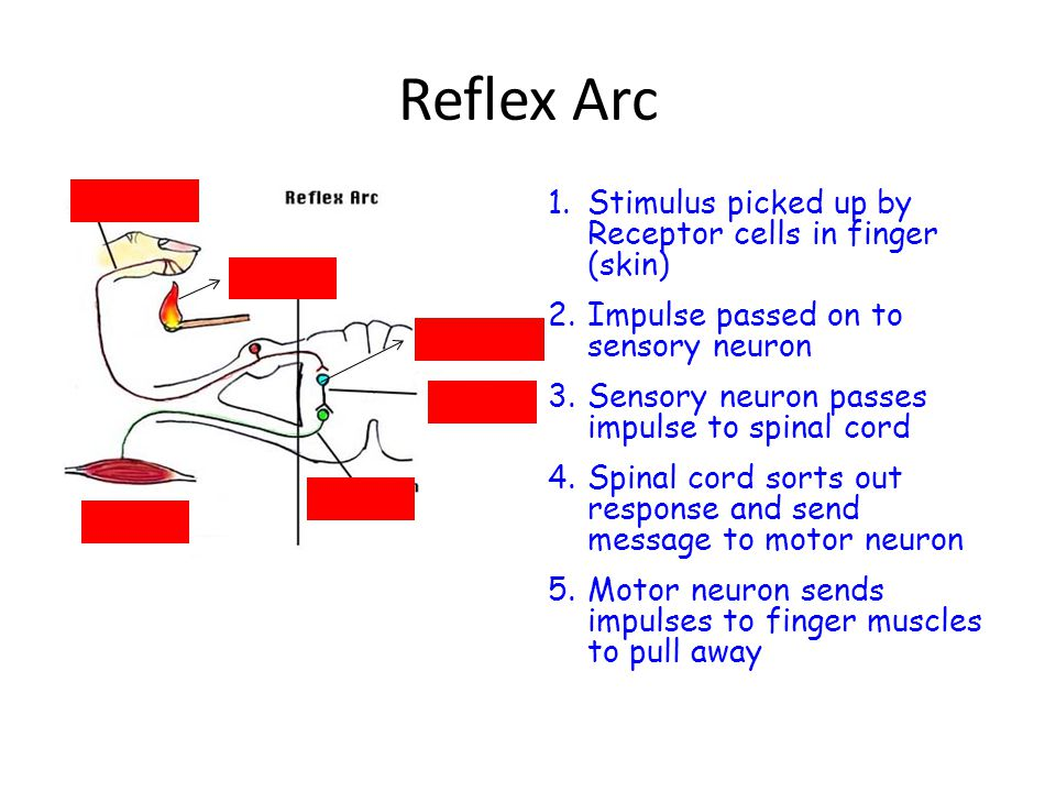 Reflex Arc Stimulus picked up by Receptor cells in finger (skin)