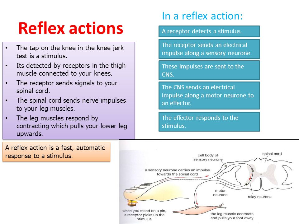 Reflex actions In a reflex action: A receptor detects a stimulus.