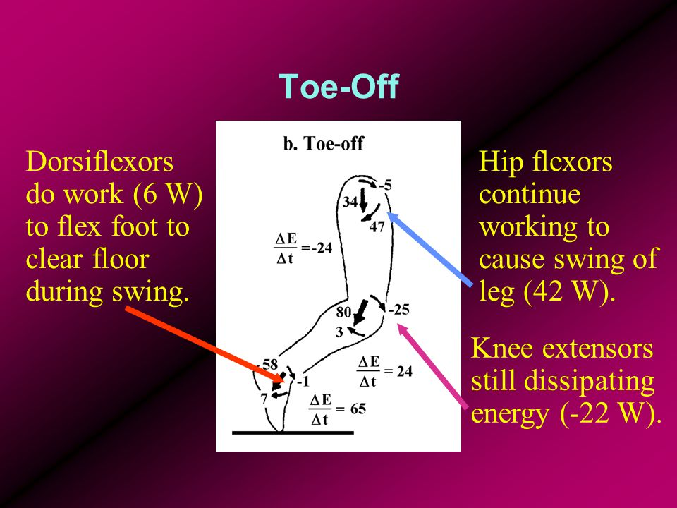 Toe-Off Dorsiflexors do work (6 W) to flex foot to clear floor during swing. Hip flexors continue working to cause swing of leg (42 W).