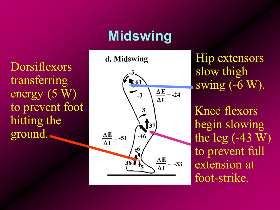 Midswing Hip extensors slow thigh swing (-6 W).