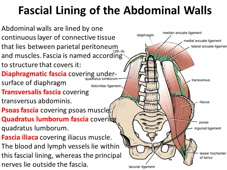 Fascial Lining of the Abdominal Walls