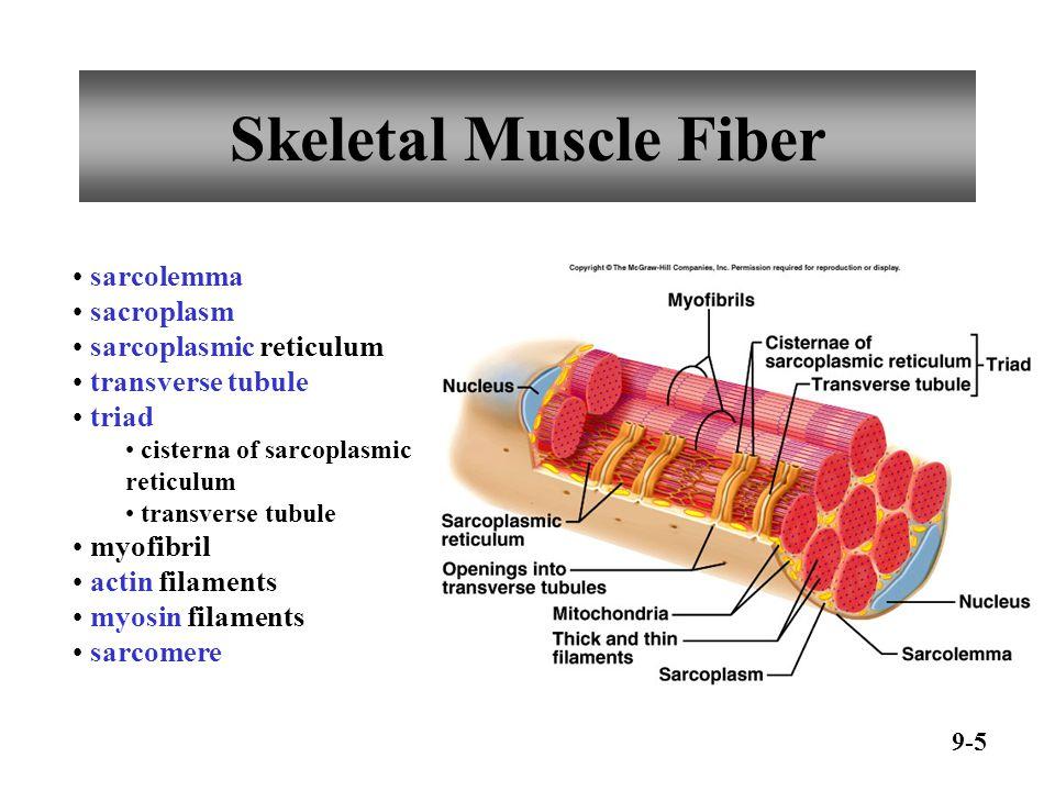Skeletal Muscle Fiber sarcolemma sacroplasm sarcoplasmic reticulum