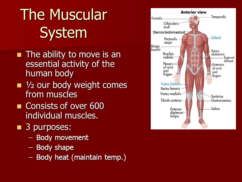The Muscular System The ability to move is an essential activity of the human body. ½ our body weight comes from muscles.