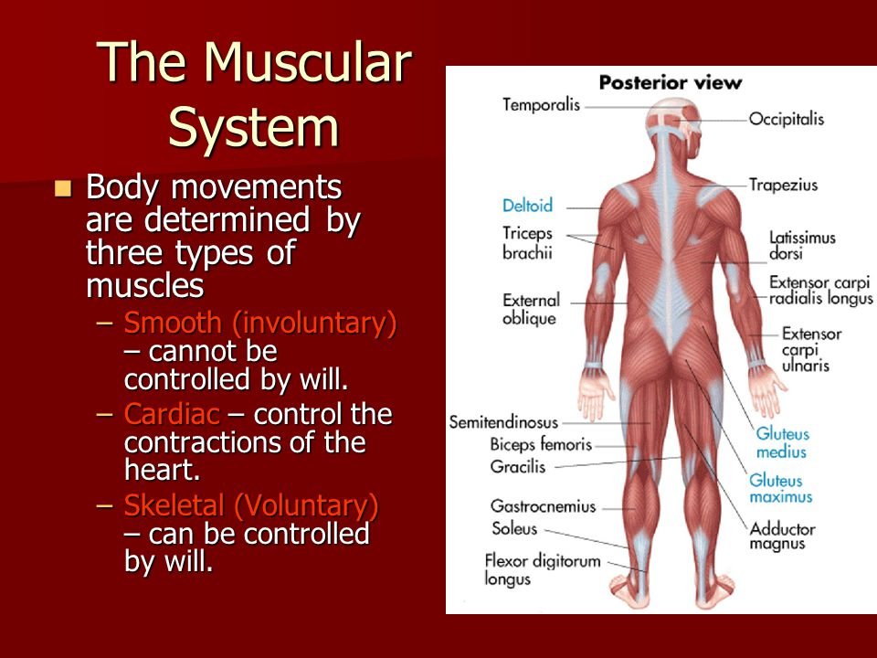 The Muscular System Body movements are determined by three types of muscles. Smooth (involuntary) – cannot be controlled by will.