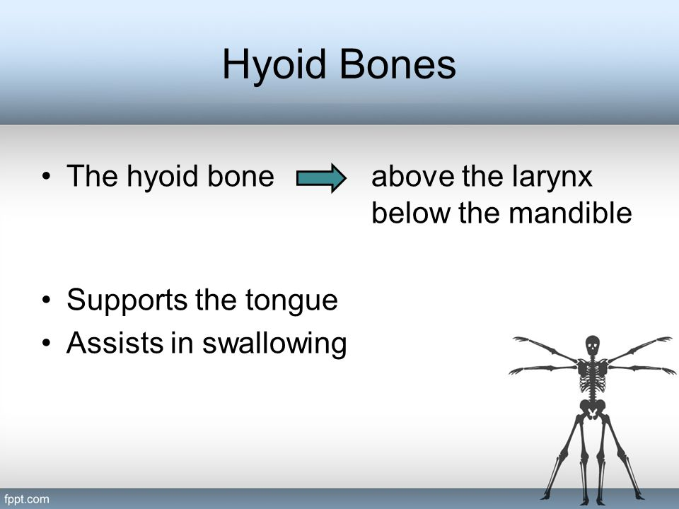 Hyoid Bones The hyoid bone above the larynx below the mandible
