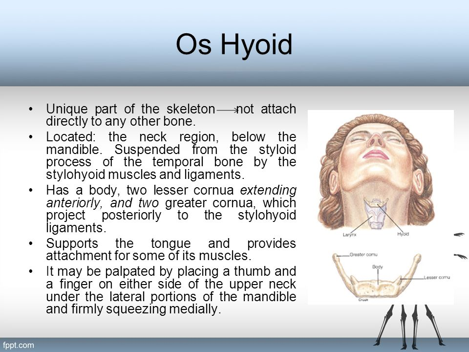 Os Hyoid Unique part of the skeleton not attach directly to any other bone.