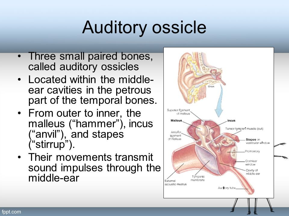 Auditory ossicle Three small paired bones, called auditory ossicles