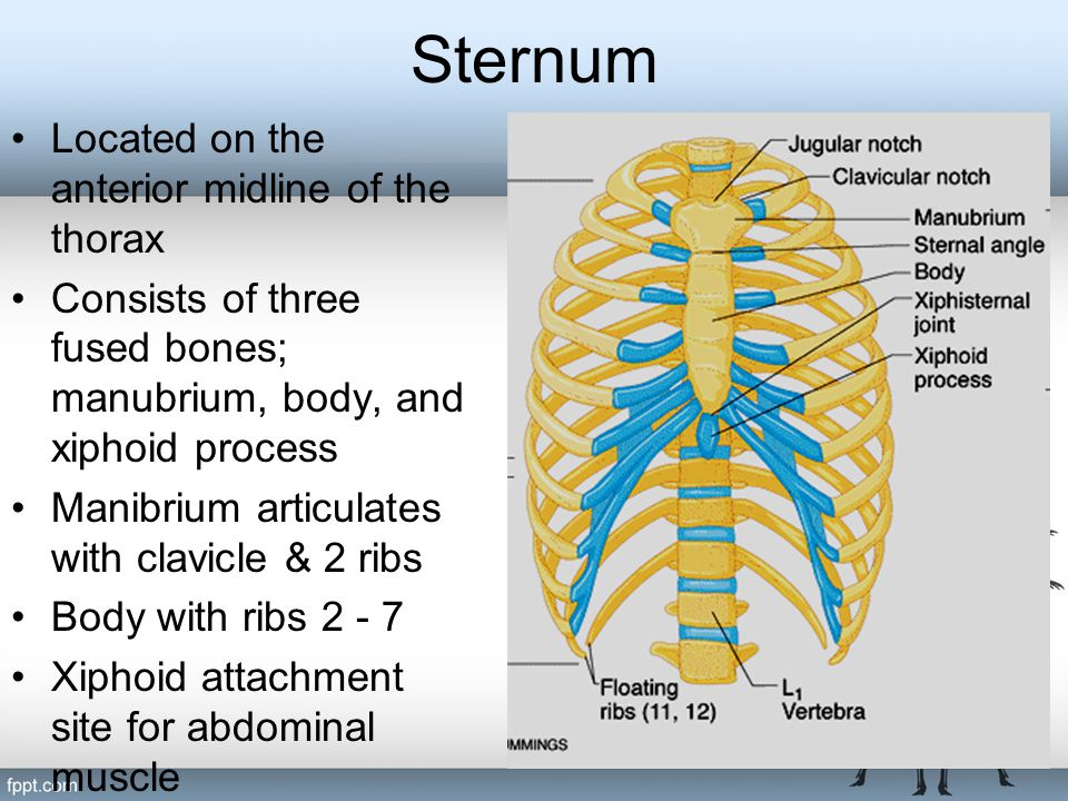Sternum Located on the anterior midline of the thorax