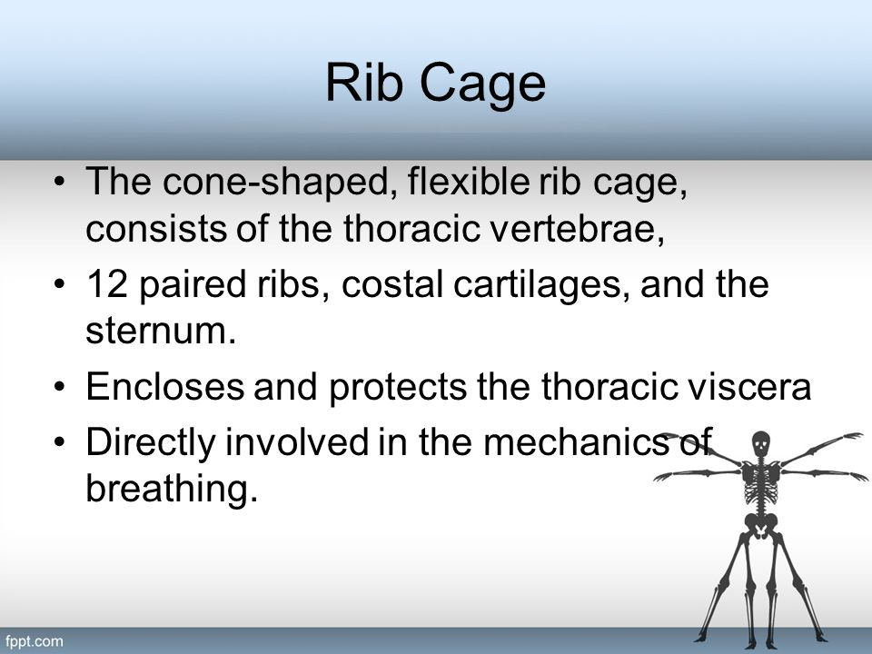 Rib Cage The cone-shaped, flexible rib cage, consists of the thoracic vertebrae, 12 paired ribs, costal cartilages, and the sternum.