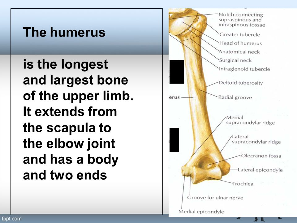 The humerus is the longest and largest bone of the upper limb.