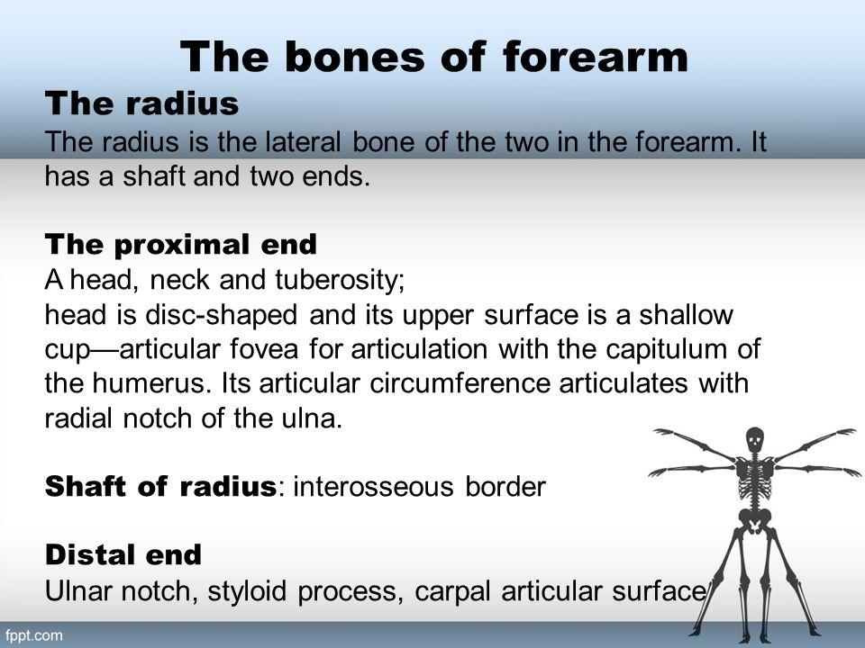 The radius The bones of forearm