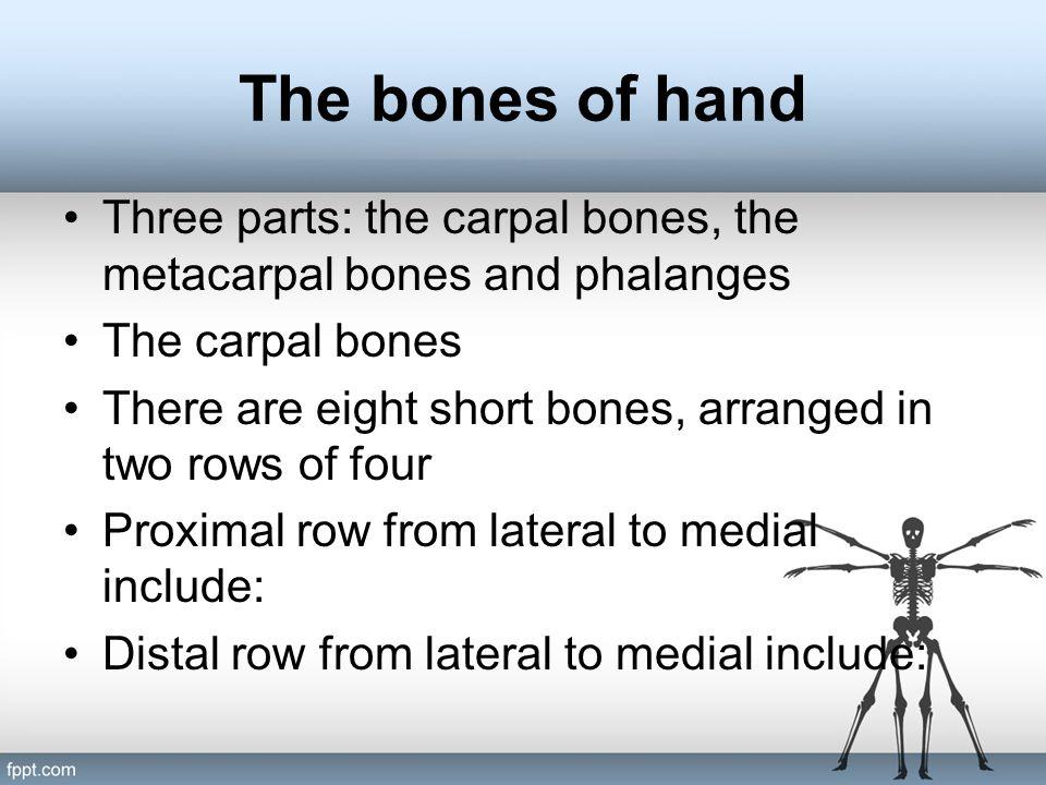 The bones of hand Three parts: the carpal bones, the metacarpal bones and phalanges. The carpal bones.