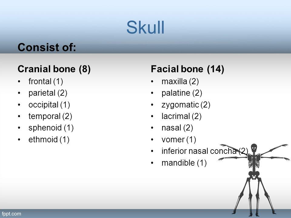 Skull Consist of: Cranial bone (8) Facial bone (14) frontal (1)
