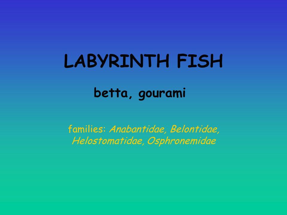 families: Anabantidae, Belontidae, Helostomatidae, Osphronemidae
