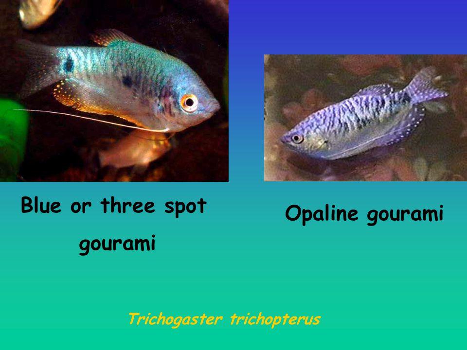 Blue or three spot gourami