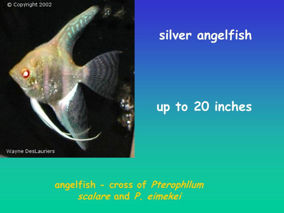 angelfish - cross of Pterophllum scalare and P. eimekei