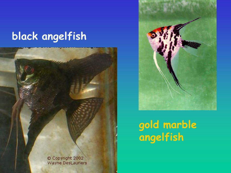 black angelfish gold marble angelfish