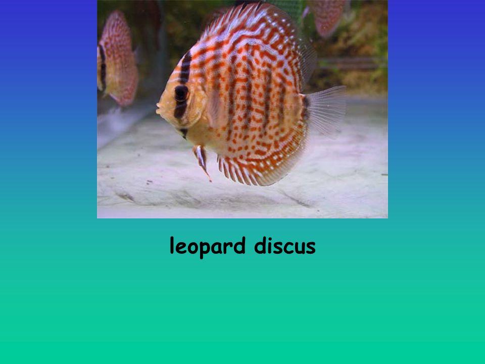 leopard discus