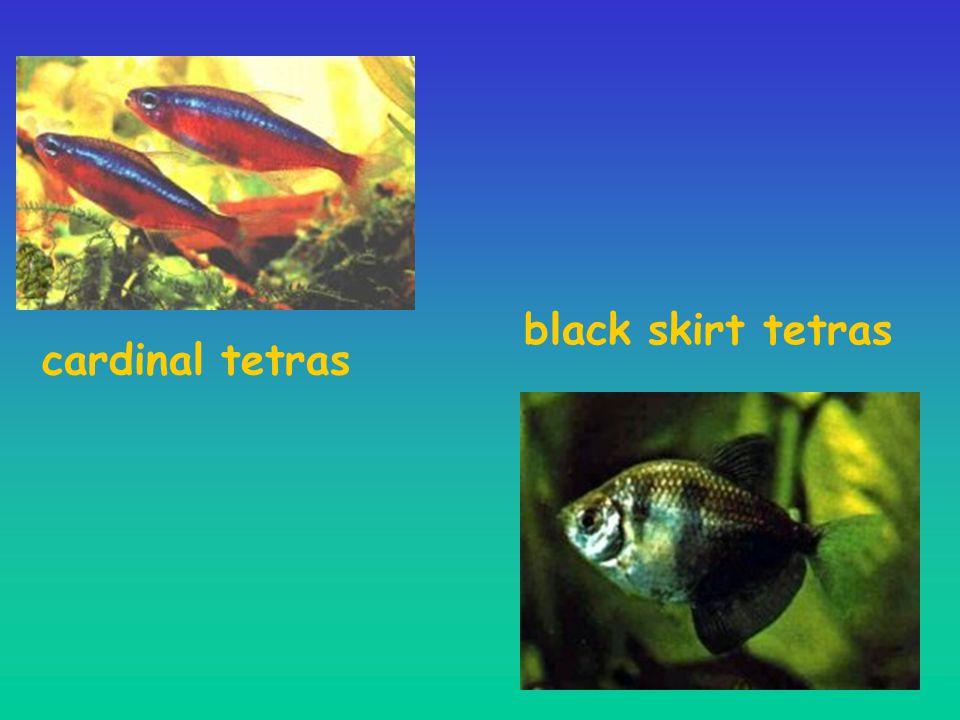 black skirt tetras cardinal tetras