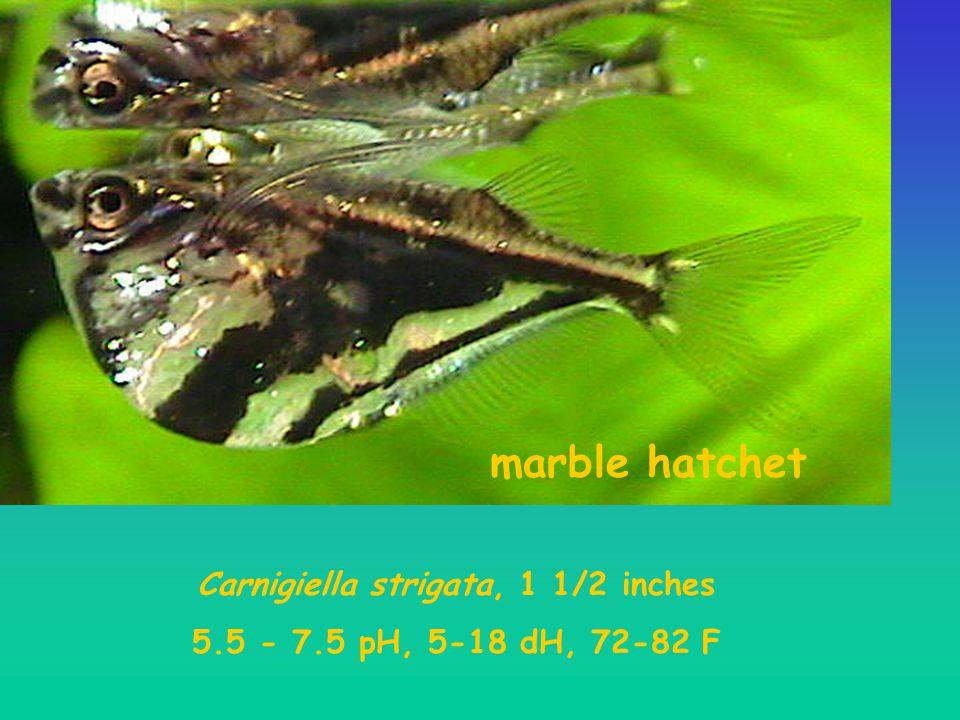 Carnigiella strigata, 1 1/2 inches