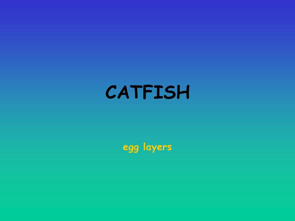 CATFISH egg layers