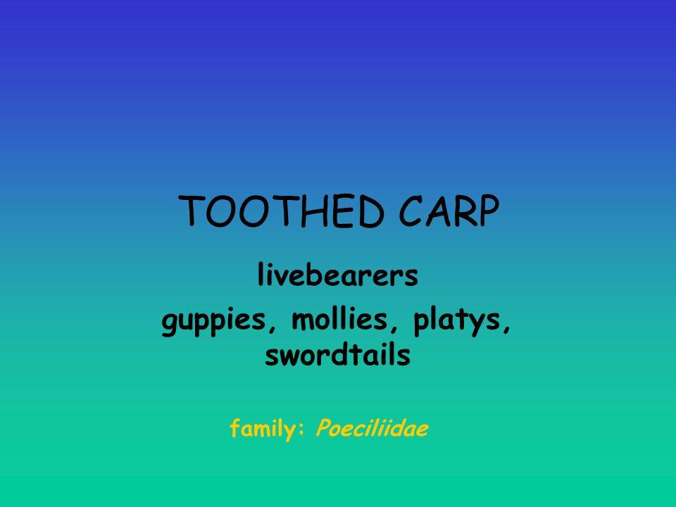 livebearers guppies, mollies, platys, swordtails