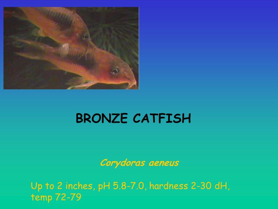 BRONZE CATFISH Corydoras aeneus