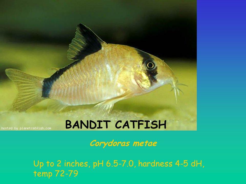 BANDIT CATFISH Corydoras metae